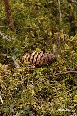 エゾアカマツの松かさ ≪Japanese Red Pine cone≫