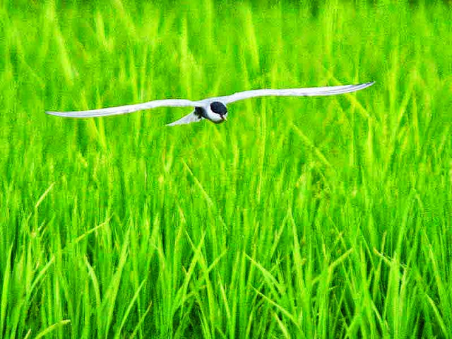 bird, tern, flight, rice field