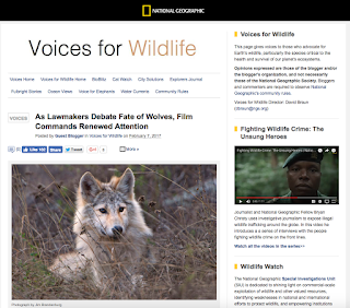 http://voices.nationalgeographic.com/2017/02/07/as-lawmakers-debate-fate-of-wolves-film-commands-renewed-attention/