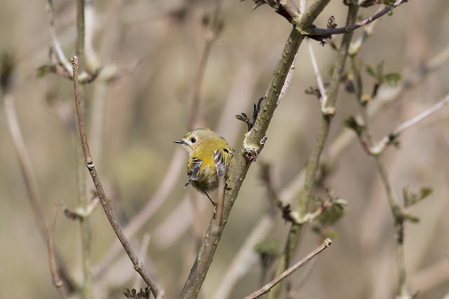 Little Sprite - Goldcrest
