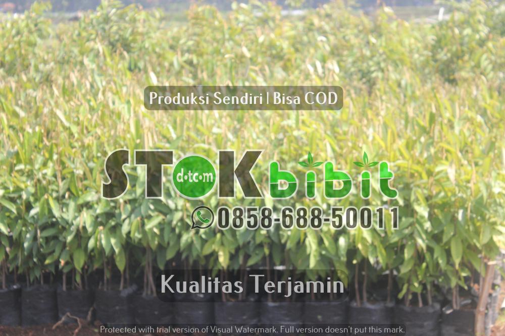 Mengenal Pohon Glodogan Tiang (Glodogan Pecut), Sebagai Pohon Peneduh Jalan      Unggul     terjamin