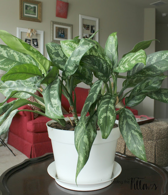 Chinese Evergreen - A houseplant that lives at Poofing the Pillows.