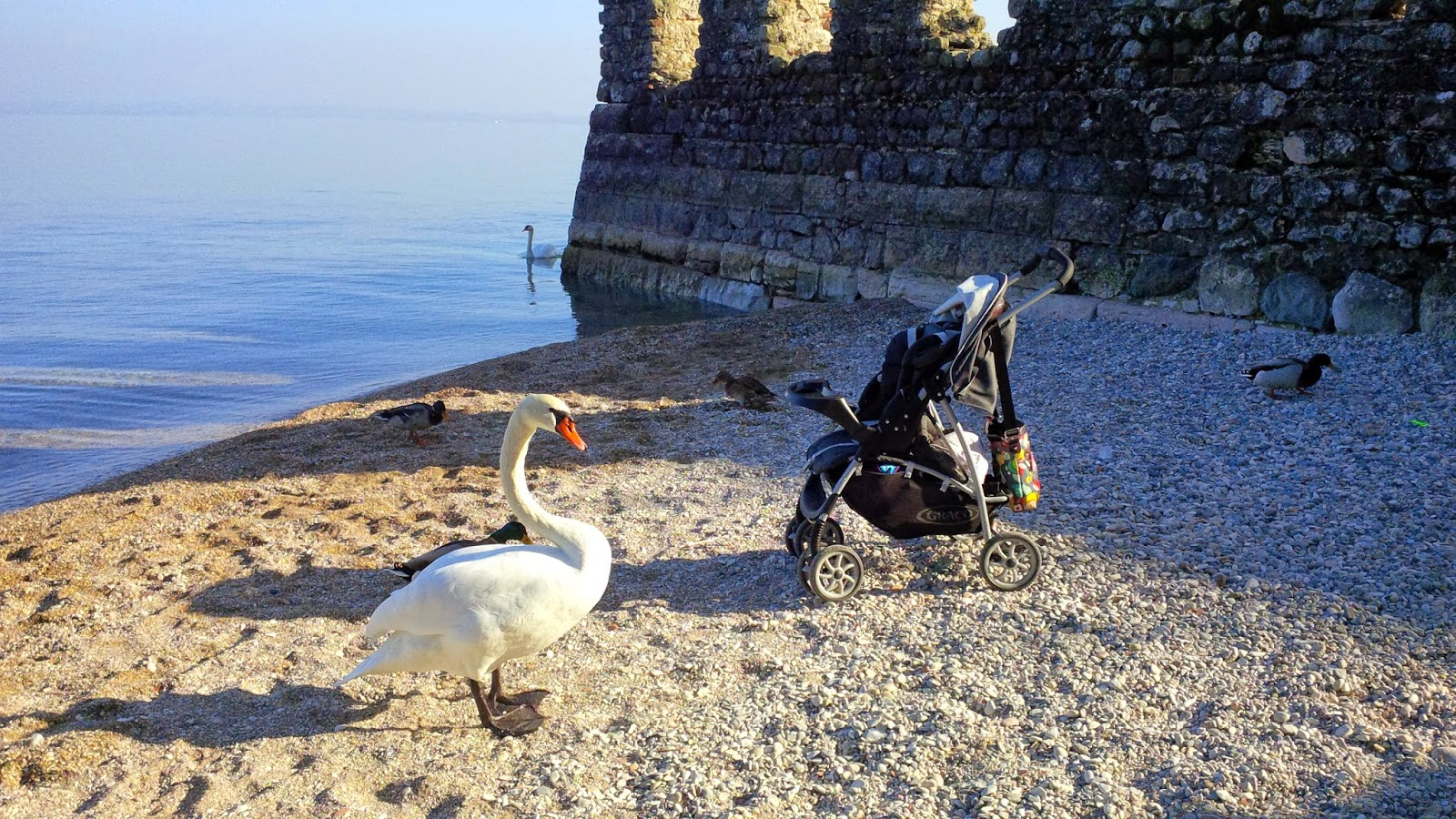 A white swan finds our Graco buggy irresistible