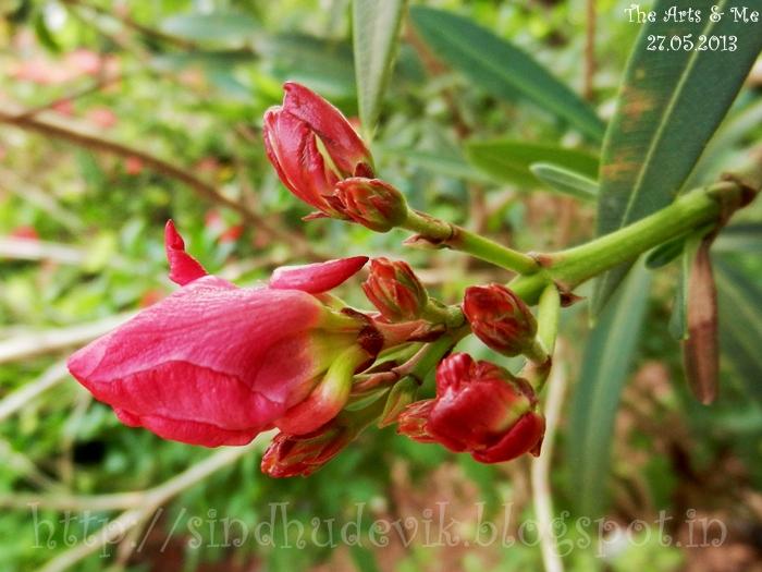Pink multilayerd Neruim Oleander - Karaveera flower buds.