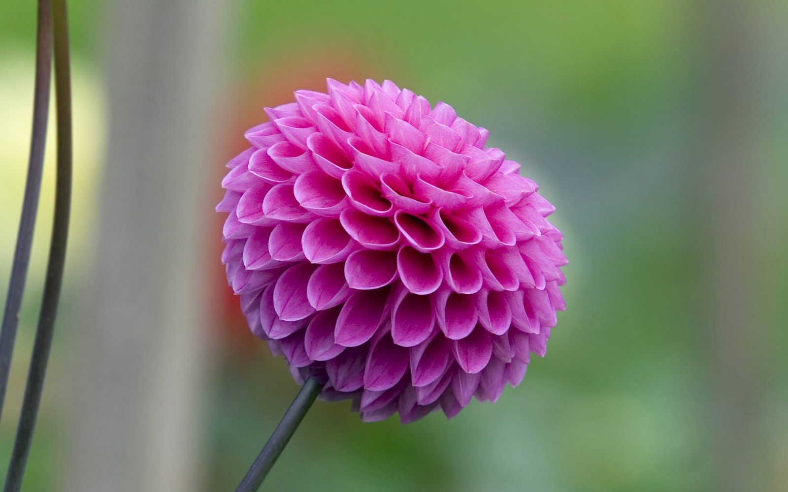 dahlia flower wallpaper