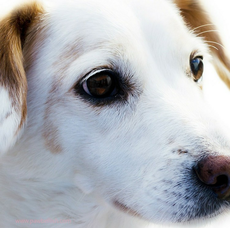 Headshot of a white and tan Jack Russell Terrier Dog