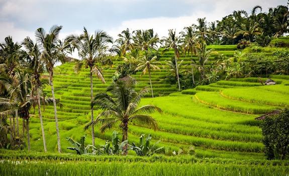 Nama Ilmiah Tanaman Padi (Oryza sativa L)
