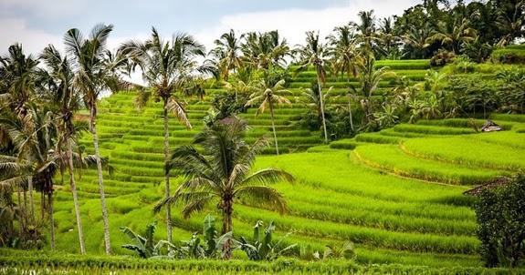 Nama Ilmiah Tanaman Padi Oryza sativa L   Ato Basahona Share