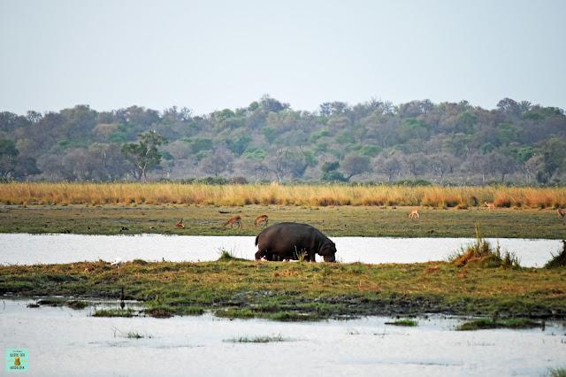 Hipopótamo en Mahango, Namibia