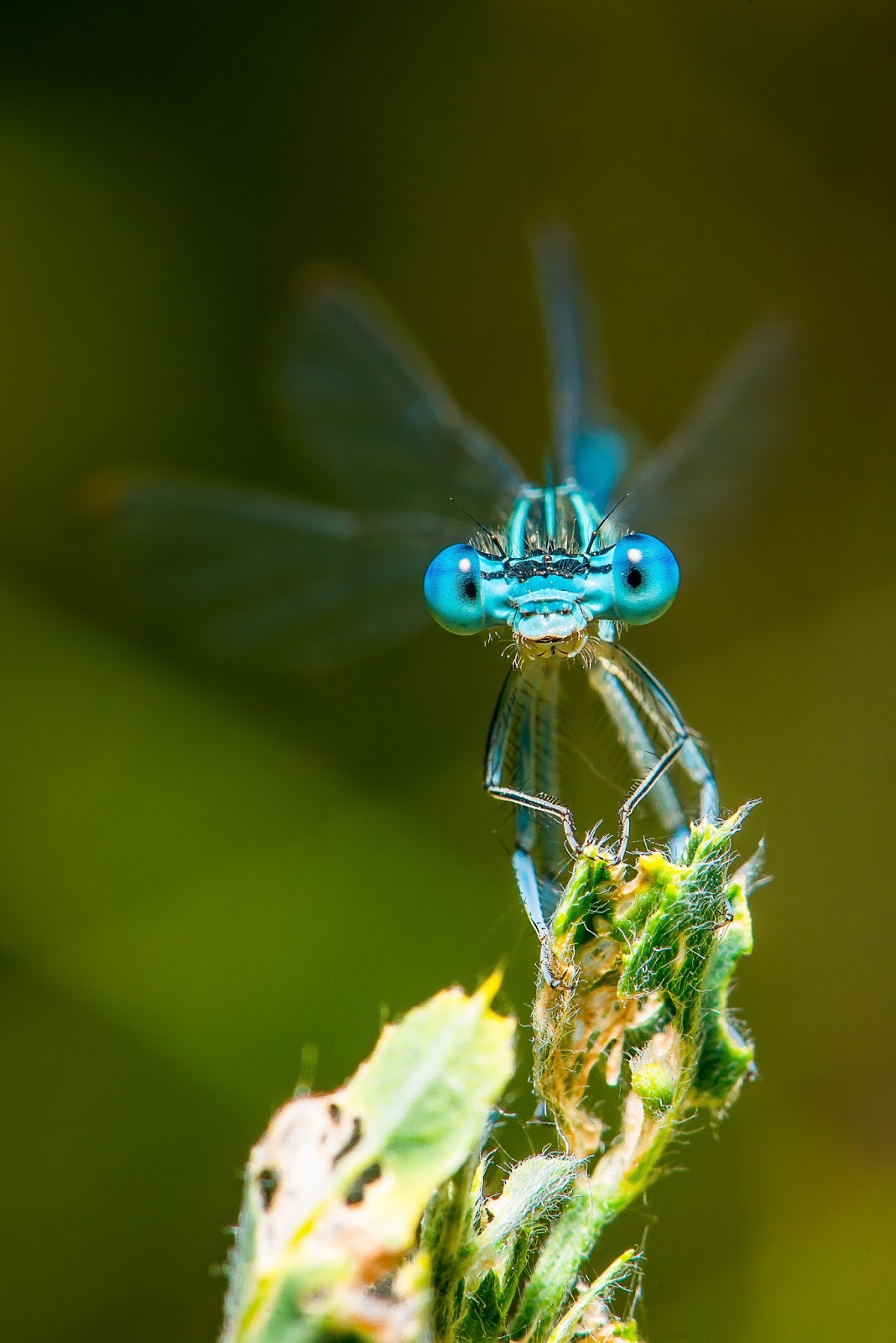 Picture of a blue dragonfly up close.