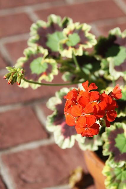 geraniums, variegated leaves, pelargonium, container gardening, gardening, Anne Butera, My Giant Strawberry