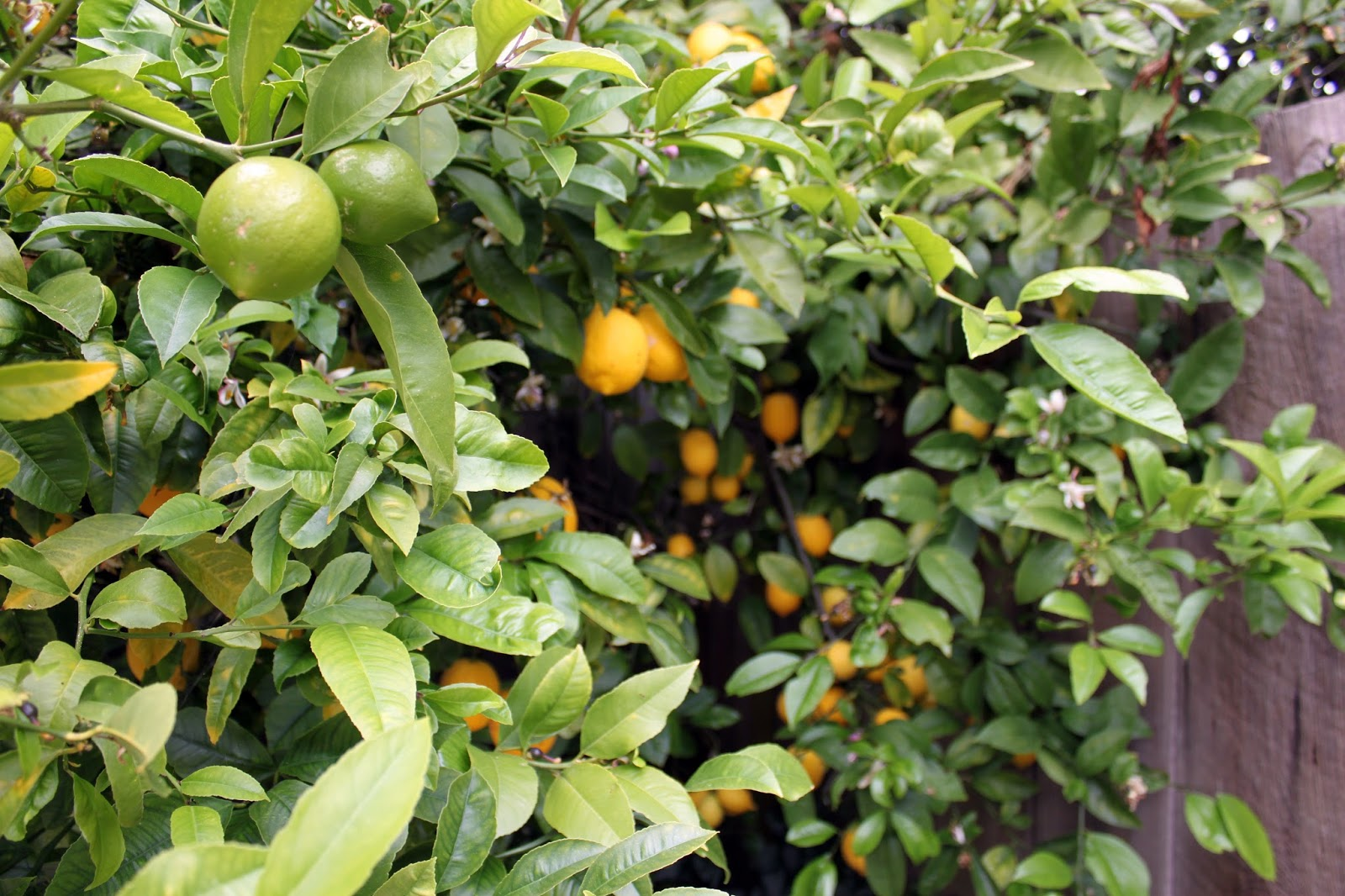olive bunny lemon drop geranium