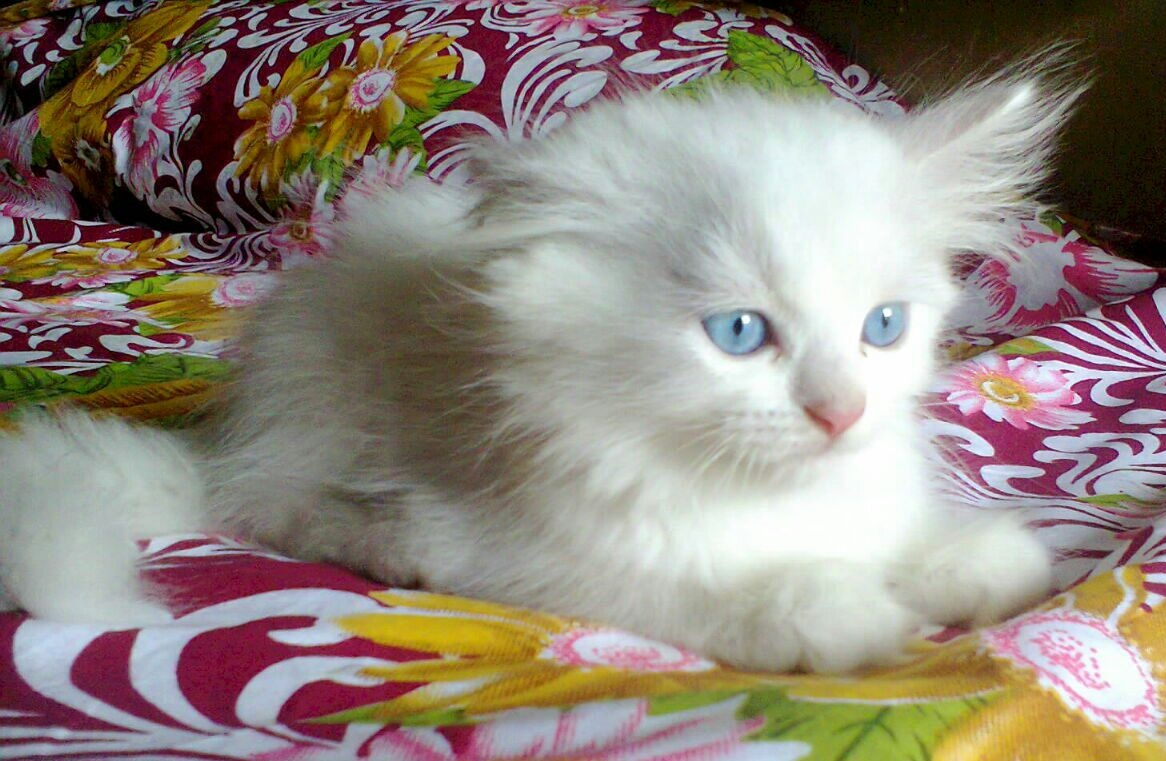 Adorable Beautiful White Black Brown And Grey Pure Breed Arabic Persian Cats For Sales Free Home Delivery
