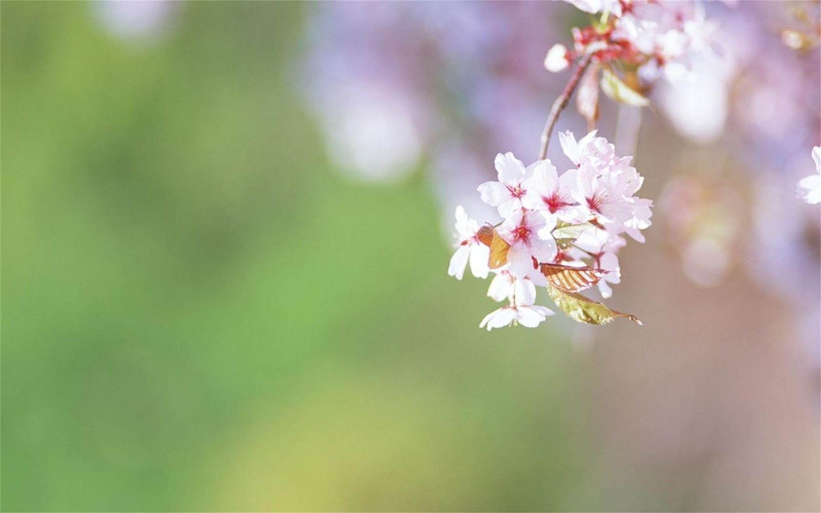 Peach blossom light PPT background
