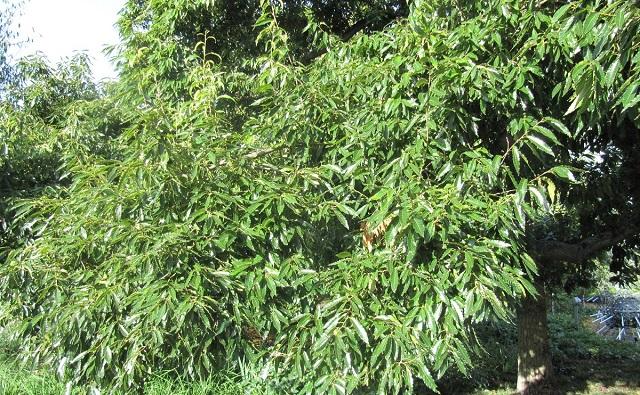 ROBLE DE HOJAS DE CASTAÑO: Quercus acutissima