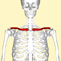 Clavicle (Tulang selangkangan)