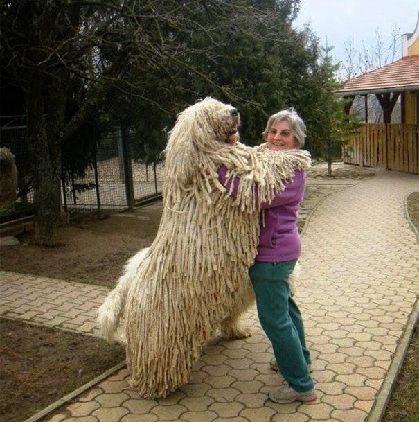 omorfos-kosmos.gr - 12 σκυλιά που δεν καταλαβαίνουν πόσο μεγάλα είναι (Εικόνες)