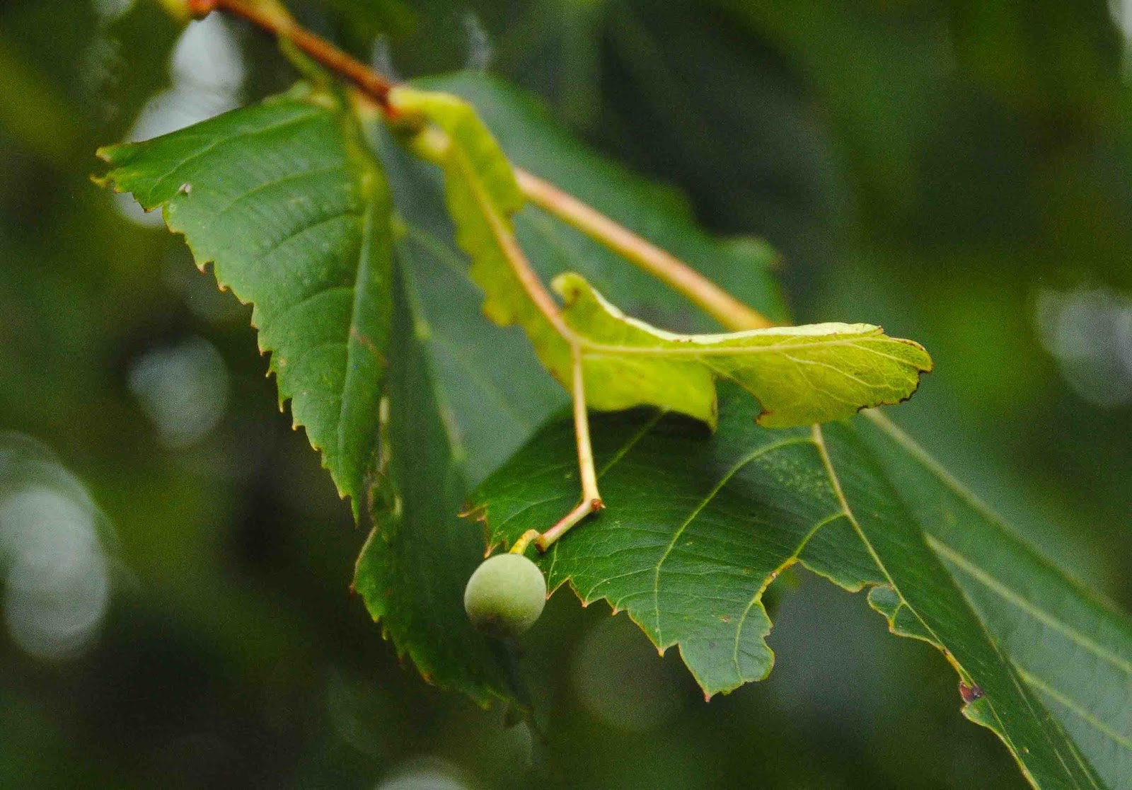 how to grow basswood trees from seed