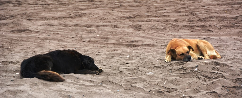 La Serena dogs on the beach