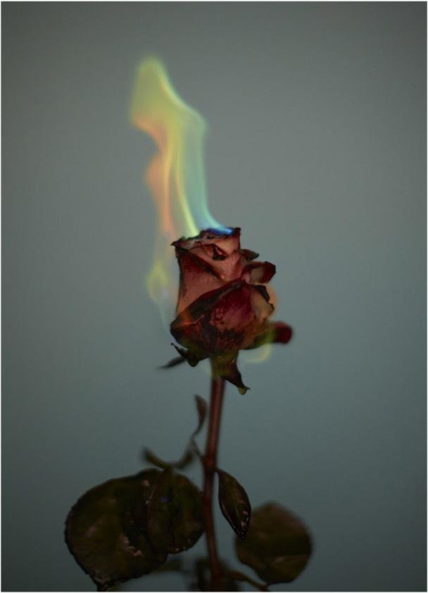 rose on fie
