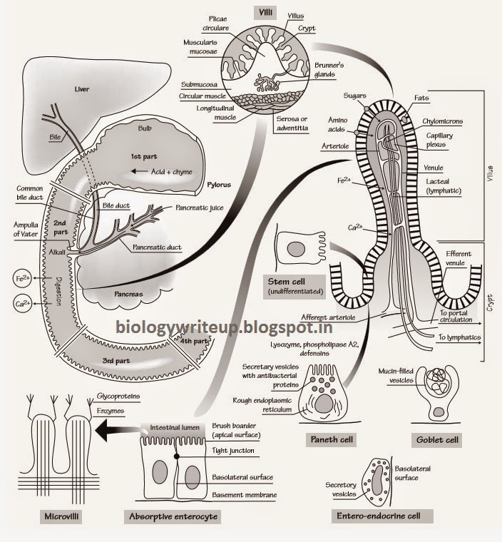 BIOLOGY WRITE-UP - BIOLOGY ARTICLES: DUODENUM OF HUMAN ...