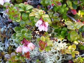 Airelle du mont Ida - Vaccinium vitis-idaea - Airelle vigne d'Ida  - Airelle rouge - Mountain cranberry