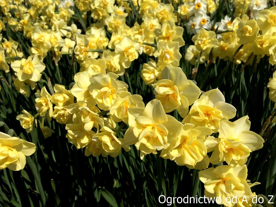 Narcyz 'Yellow Cheerfulness'