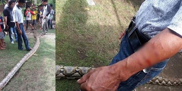 Seorang Petani asal Bone Hampir Dimangsa Ular Piton Sepanjang 7 Meter