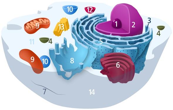 What-is-Ribosome-Definition-ما-هو-تعريف-الريبوسوم