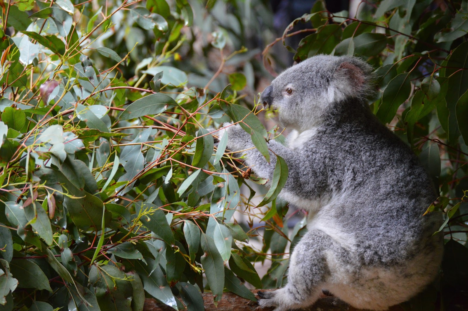 Koala eating eucalyptus.