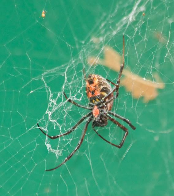 hermit spider (Nephilengys malabarensis)