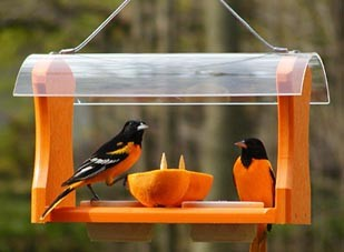 tips to attract orioles to your backyard