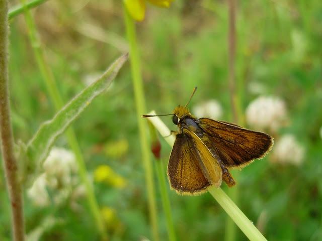 Thymelicus acteon, el macho