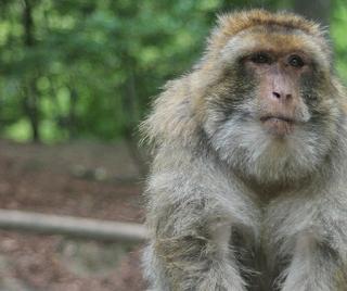 Macaco Rhesus (Rh)