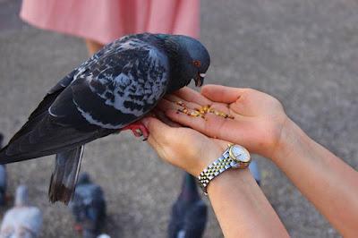 Tips Memberi Makan Burung Merpati