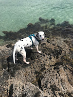Dalmatian dog on rocks at the beach