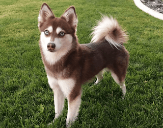 Everything about your Alaskan Klee Kai
