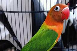 Harga Lovebird Biola Anakan dan Dewasa Terbaru September 2018