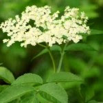 Sauco planta medicinal