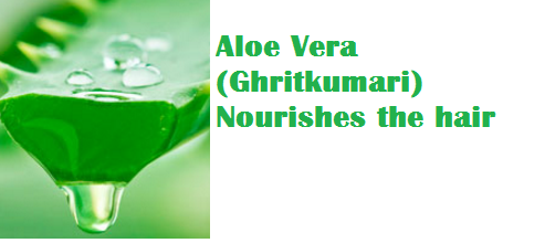 Aloe Vera (Ghritkumari) Nourishes the hair