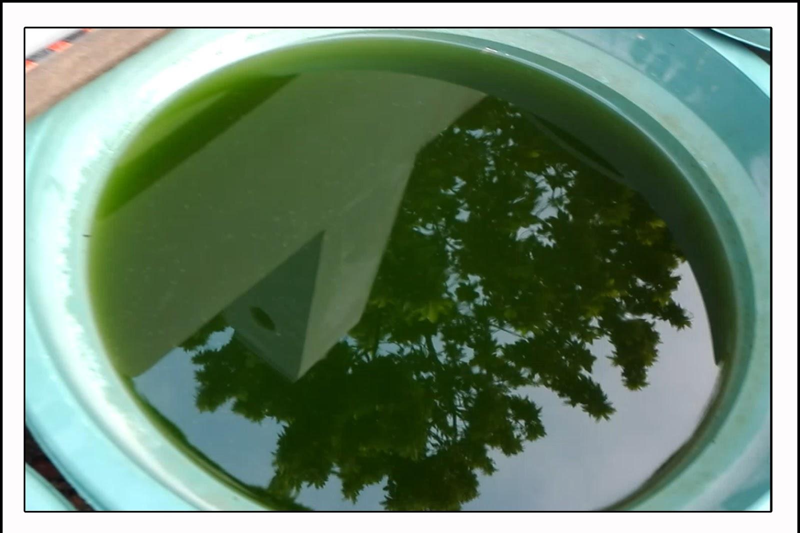 cara mudah budidaya kutu air dgn green