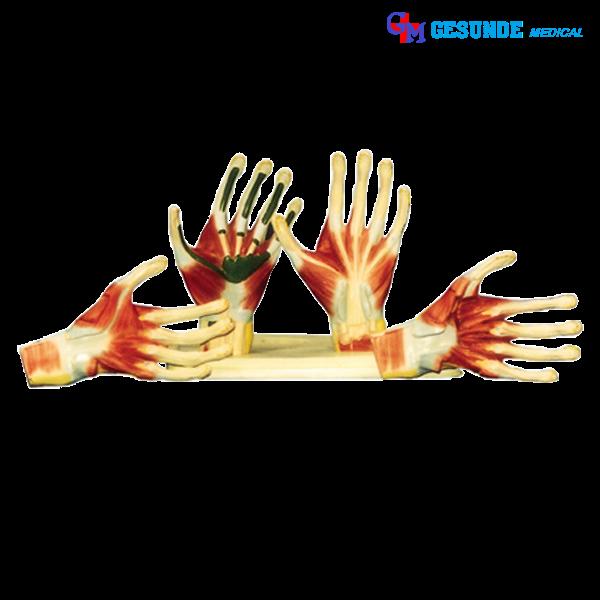 alat peraga model jaringan otot telapak tangan