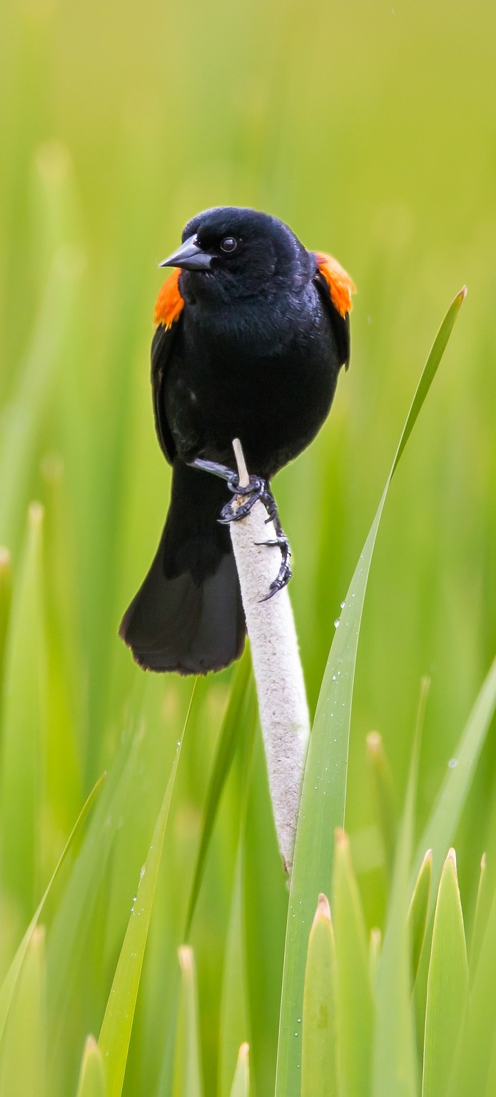 Picture of a red wing blackbird.