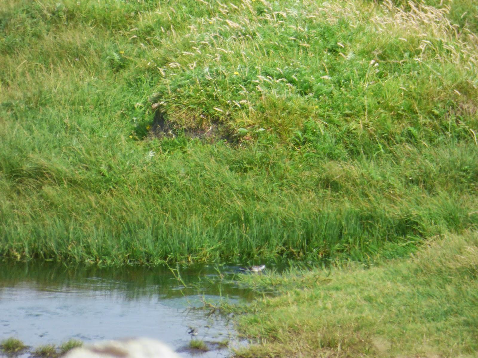 Logan's Nature Blog: Red-necked Phalarope, Utra Scrape 08/08/2014