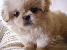 Cute Pekingese dog puppy