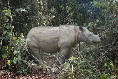 Gambar Binatang Badak Sumatera