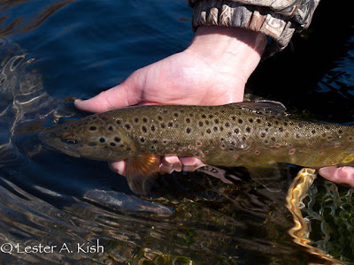 A beautiful DePuy Spring Creek Brown Trout about to be released