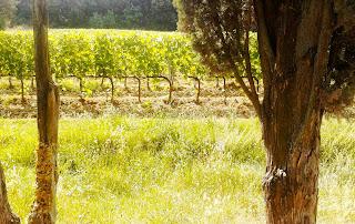 paesaggio toscana vigneto cipressi
