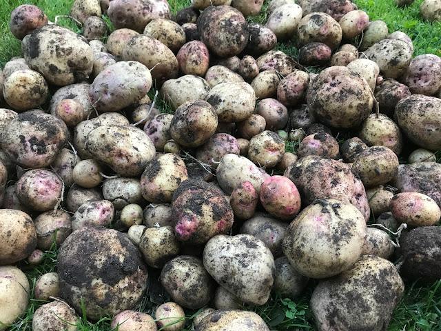 Kartoffeln Sorte Cara  (c) by Joachim Wenk