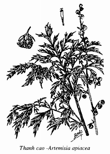 Hình vẽ Thanh Cao - Artemisia apiacea - Nguyên liệu làm thuốc Chữa Cảm Sốt